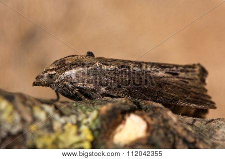 Wax moth (Galleria mellonella)