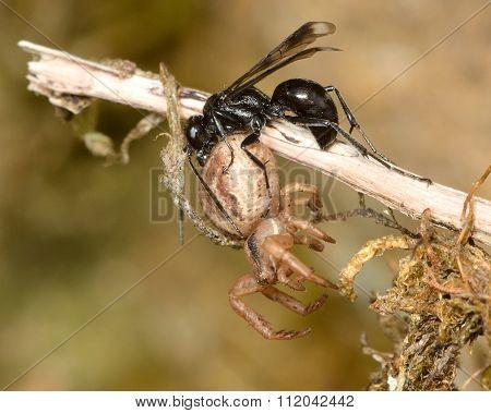Spider-hunting wasp Caliadurgus fasciatellus with paralysed spider prey