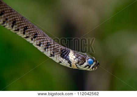 Grass snake (Natrix natrix) ready to shed skin with blue eye