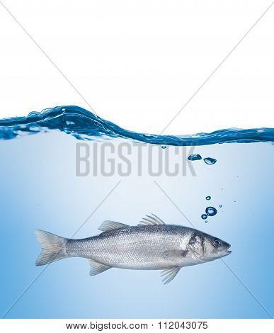 Fish Seabass Under Water