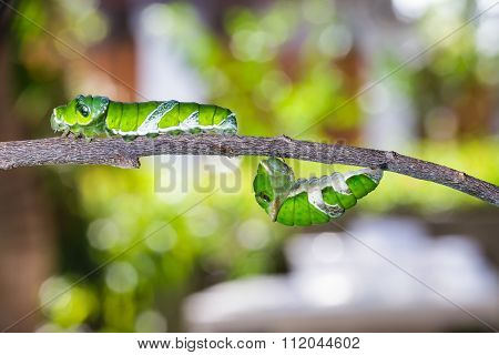 Mature Caterpillars Of Great Mormon Butterfly Hanging And Walking On Twig