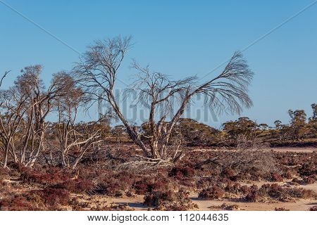 Dry Bare Tree On The Shores Of Pink Salt Lake Kenyon. Native Australian Vegetation