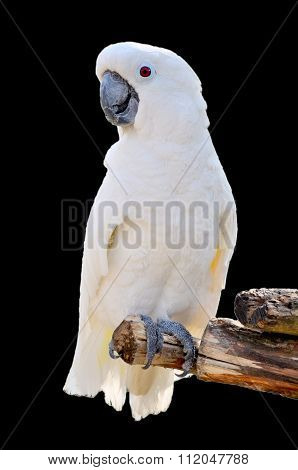 Big White Parrot Cockatoo isolated on black