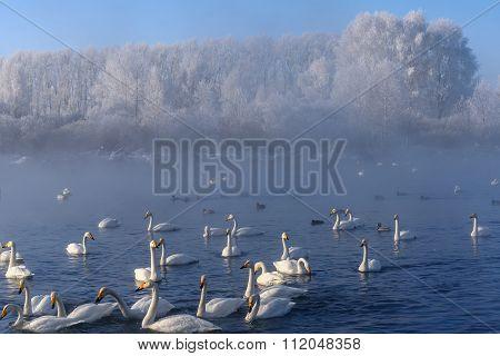 Swan Lake Mist Winter Birds