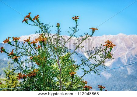 Flowers with snow mountains in background