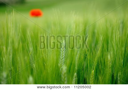 Green wheat and red poppy