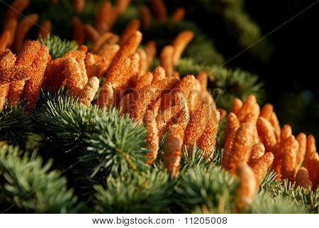 Pine tree blossoms