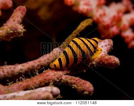 Yellow And Black Striped Tiger Cowrie