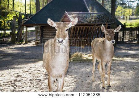 Deers In The Open Zoo