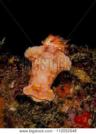 Ceratosoma Trilobatum, Nudibranch, Sea Slug