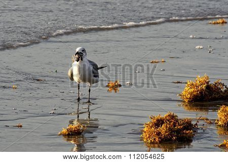 Seagull with Sea Turtle in Beak