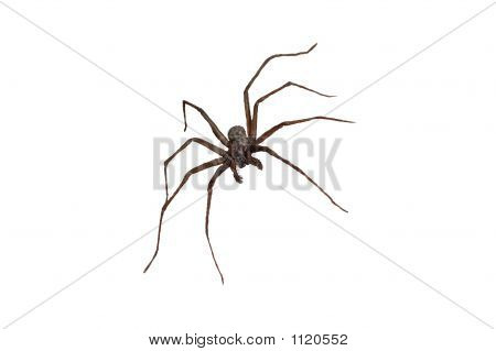 Wolf Spider Isolated 3