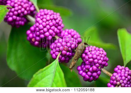 purple beautyberry Callicarpa fruit growing on shrub