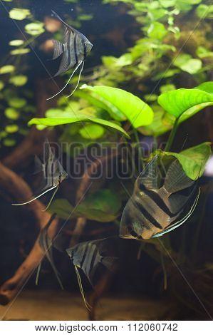 Peruvians Angelfishes.