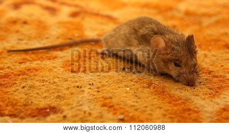 Mouse On The Carpet