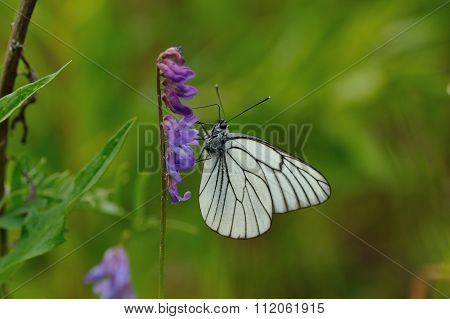 Black-veined White Butterfly