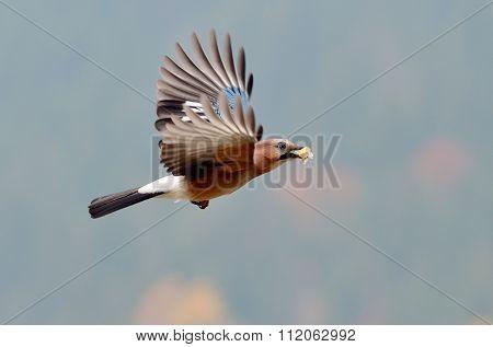 jay in natural habitat (Garrulus Glandarius)