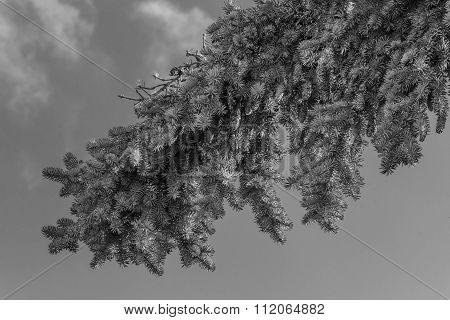 Spruce twig with buds