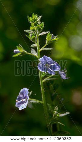Flowering Bird's-eye Speedwell Plant Close Up