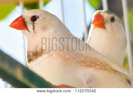 Two Finches In Cage