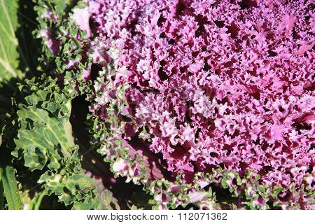 Color Cabbage,Ornamental Cabbage,Flowering Cabbage,Ornamental Kale