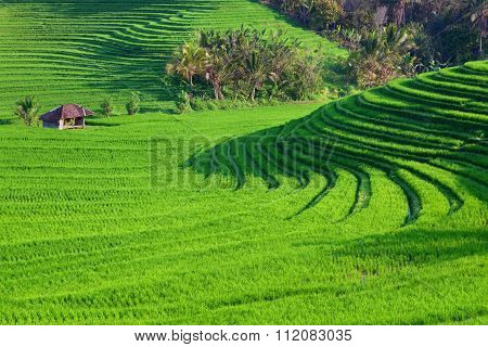 Green Rice Terraces Landscape On Bali Island