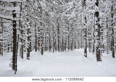 Wintery Forest.