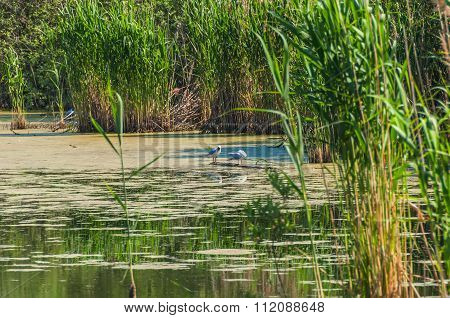 Swamp Grass Seagull Bird