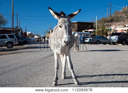 Burro standing at Oatman Ghost town