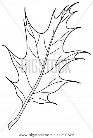 Leaf of oak Iberian, contour