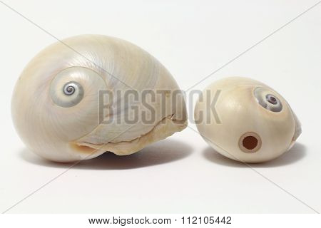 Atlantic moon snails: the hunter and the hunted
