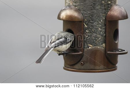 Chickadee eating from an outdoor bird feeder with its head inside feeder