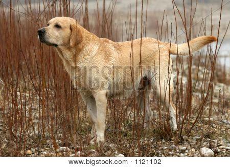 Working Labrador Retriever