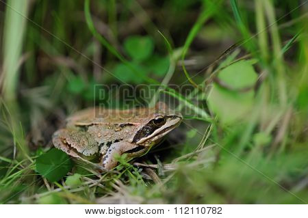 Frog. Close Up.