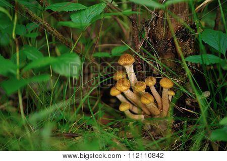 Honey Mushrooms