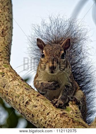 Pledge of Allegiance Funny Squirrel