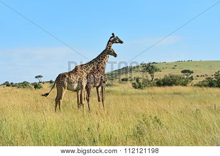 Giraffe In The African Savannah