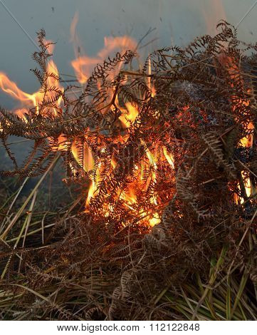 Burning ferns on heath land.