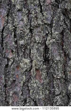 Bark Of The Tree