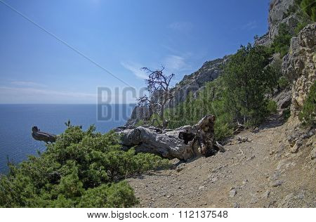 Fallen Dried Relic Pine. Crimea