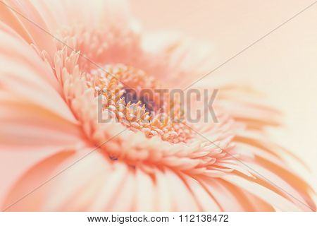 One Pale Pink Gerbera Flower