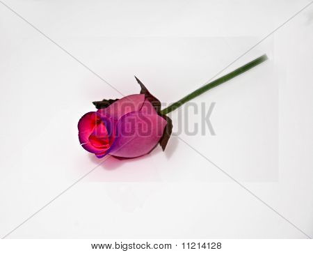 Pastel Pink Wood Rose Isolated On White