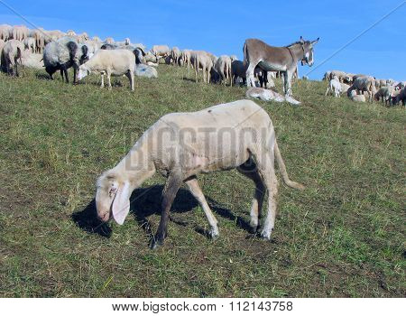 Sheep Grazing The Grass In A Large Flock