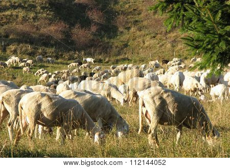 Sheep Grazing In A Meadow In The Mountains