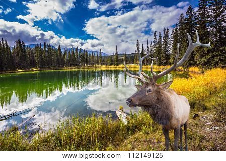 Proud deer antlered stands on the banks of the pretty round lake. The lake reflects multi-colored autumn woods and mountains. Jasper National Park in the Rocky Mountains of Canada