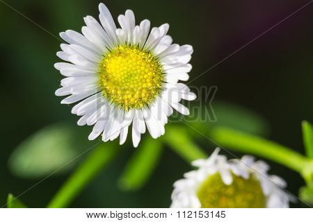 Selective Focus Of    Chrysanthemum Flowers