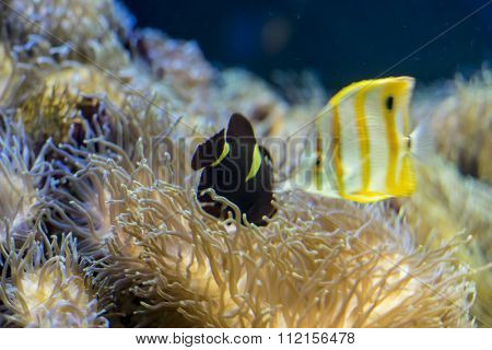 clownfish in coral bank in the sea