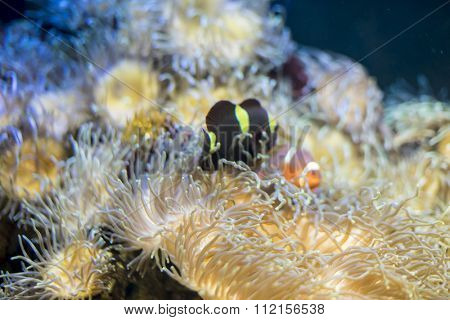 travel, clownfish in coral bank in the sea