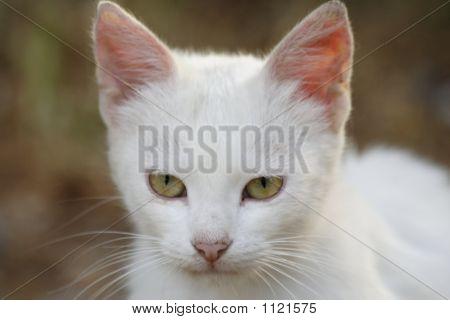 A Curious White Cat