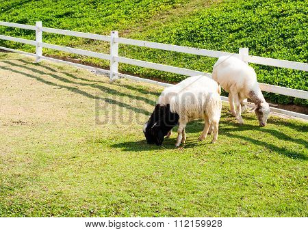 Sheep In The Farm. They Are Eating Grass Or Food